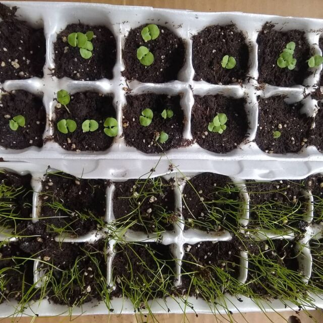 We're thinking the seedlings are ready to be repotted. Basil (for Pizza Margherita in about six weeks) and chives - um, what do we use chives for???